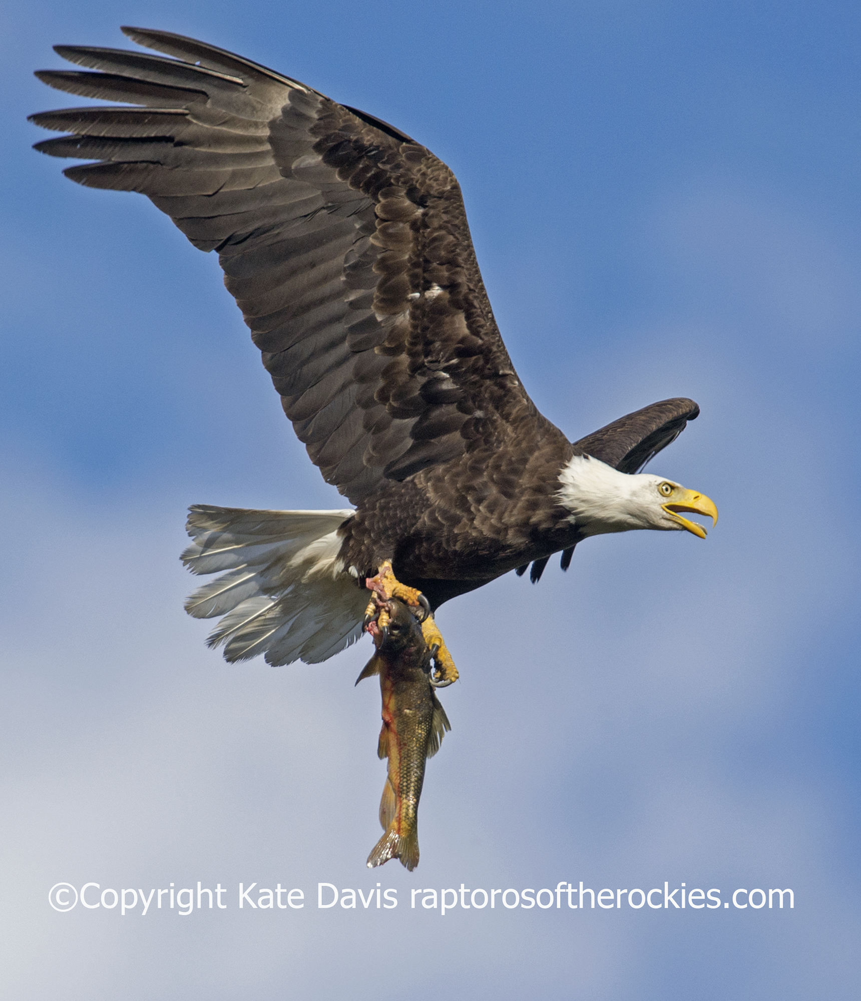 This Bald Eagle was flying over the Bitterroot River in Montana with a sucker, just as two young had fledged from the nest