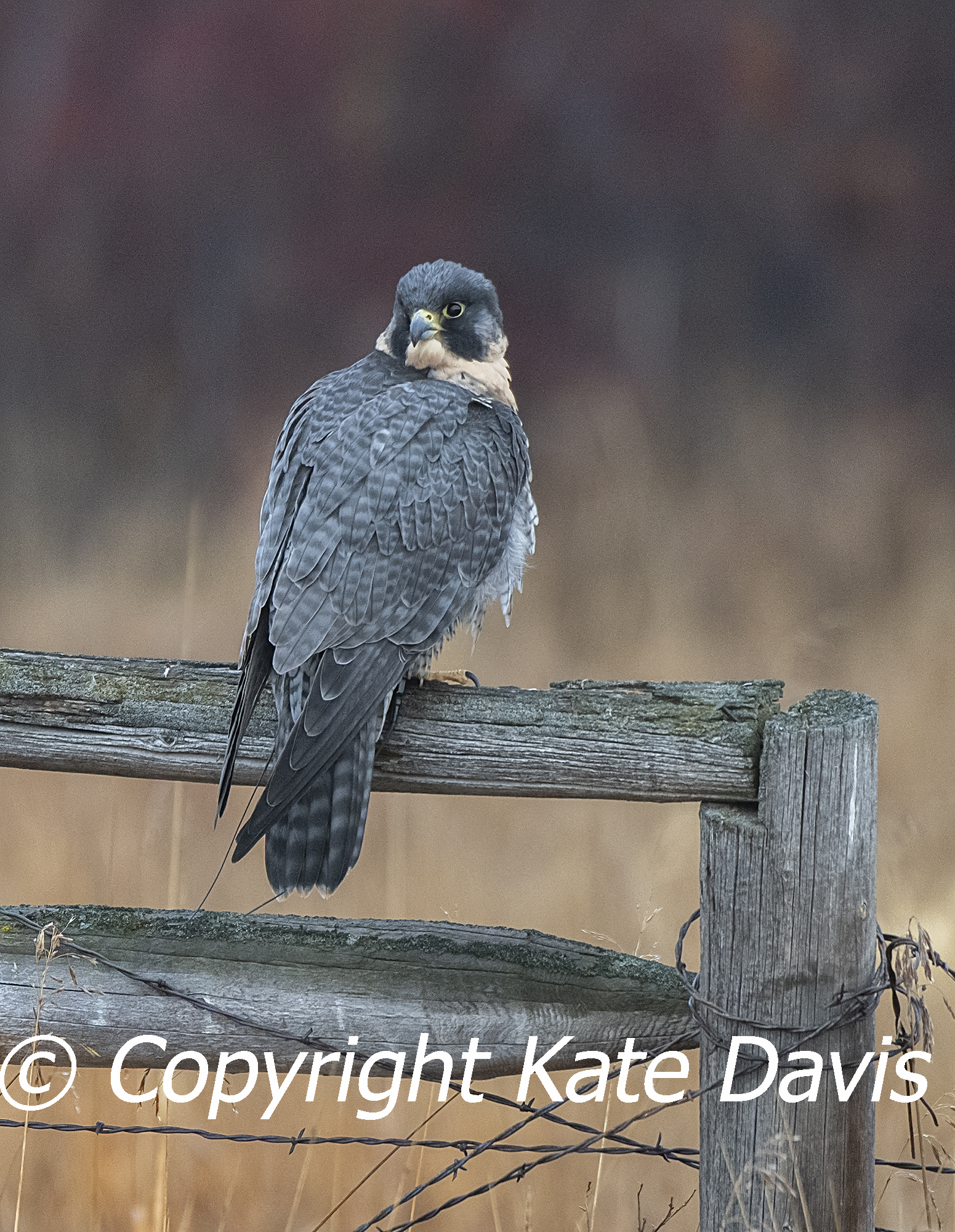 Sibley the Peregrine taking a break, 17 years of age in 2020