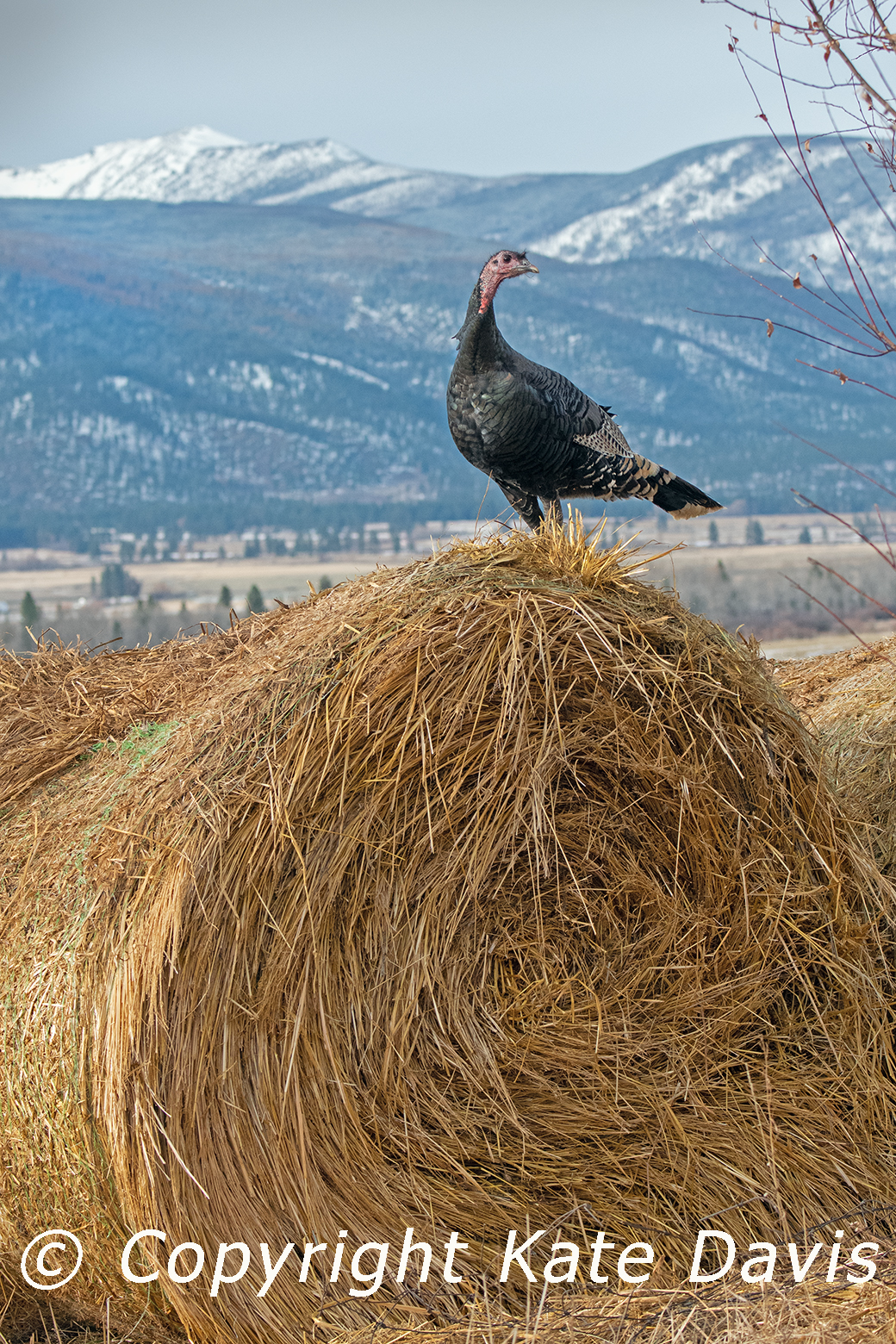 Turkey In the Straw (Hay actually)