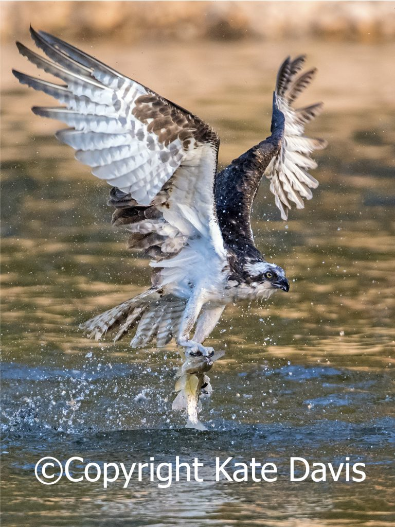 Osprey and Whitefish