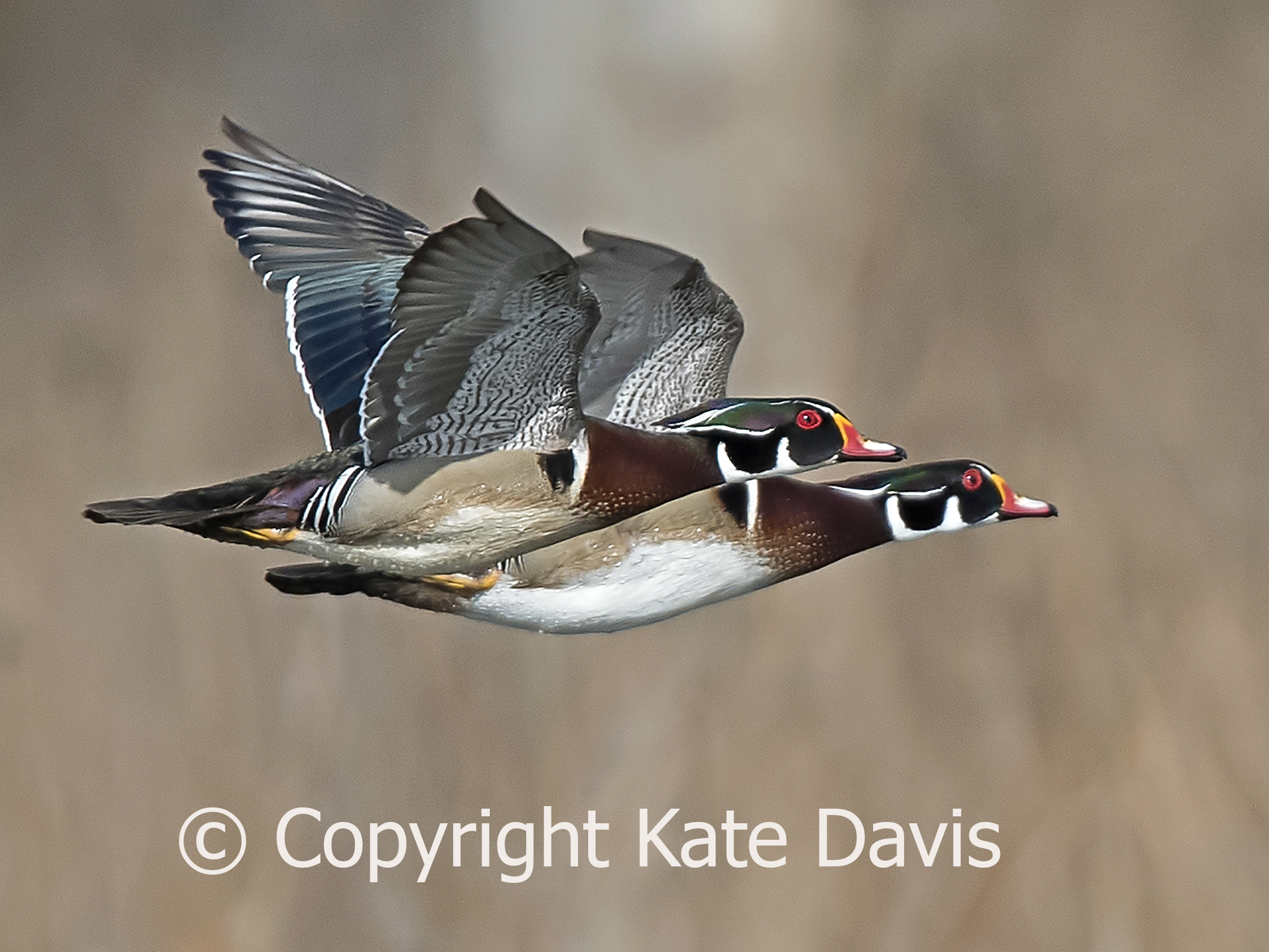 Wood Duck Drakes In Flight