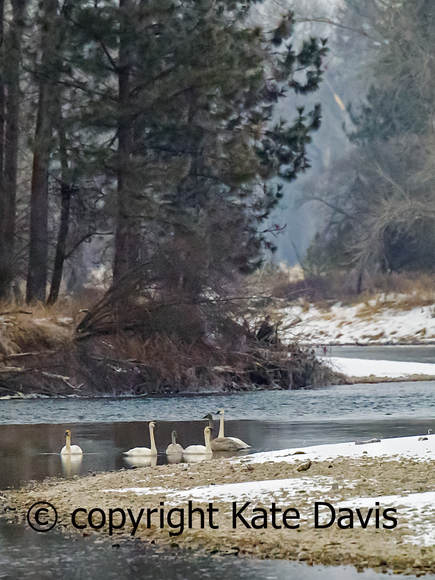Trumpeter Swans on the Bitterroot River