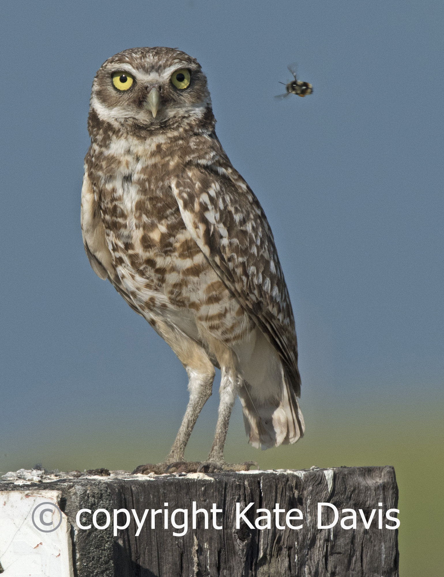 "A nice portrait of a Burrowing Owl that is what some friends called ""photo-bombed"" by a bumblebee"