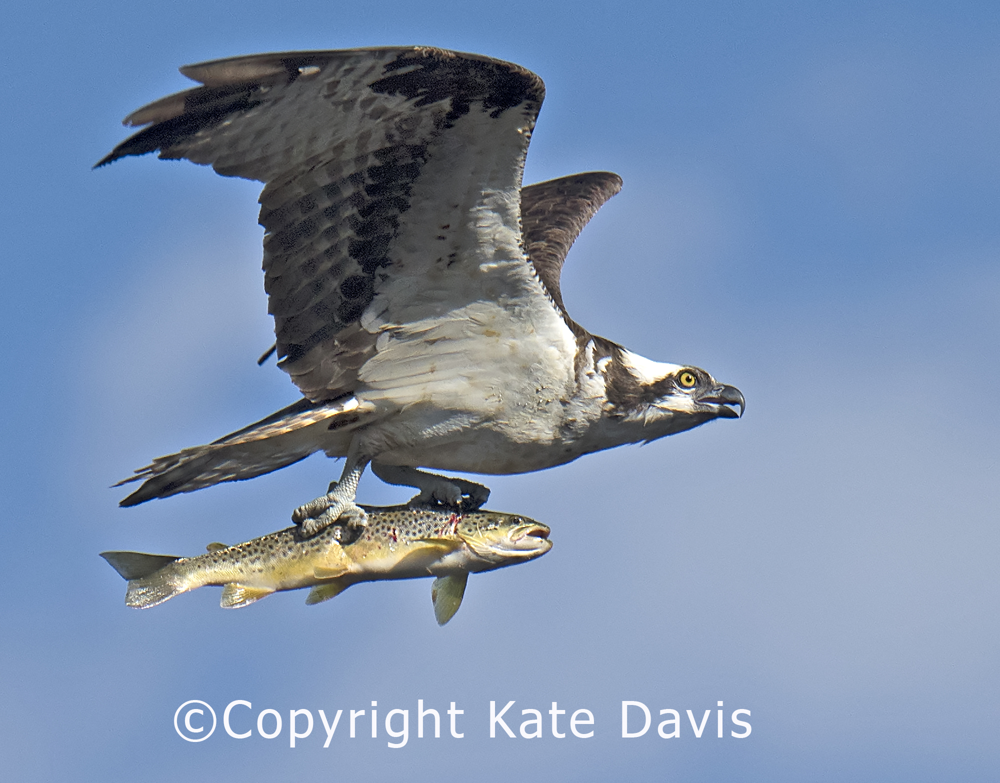 Osprey and Brown Trout, September 2018 Bitterroot River