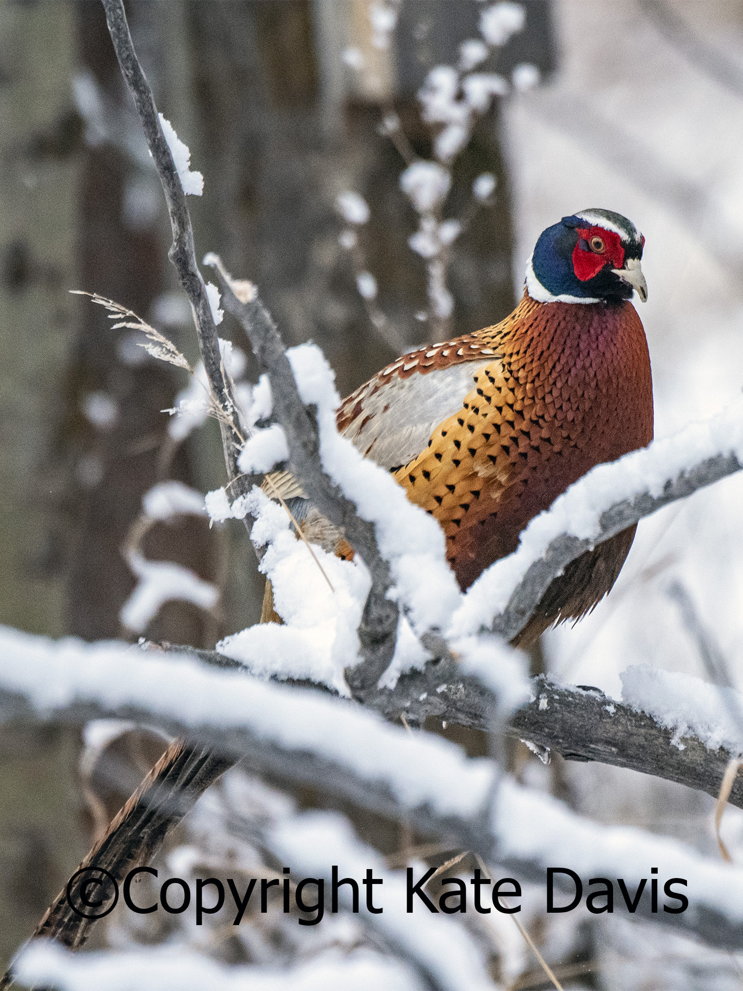 Front Yard Pheasant, April Snow