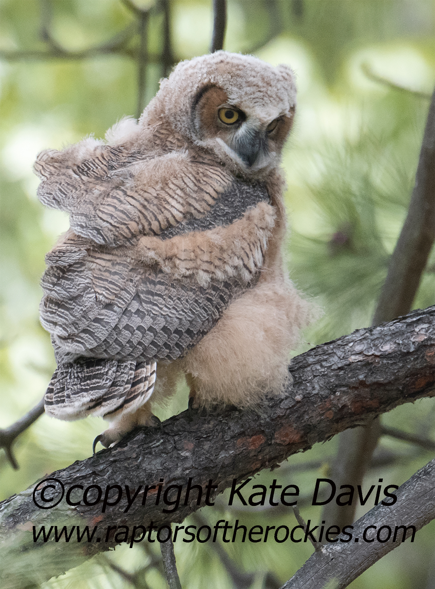 Fluffy Great Horned Fledgling