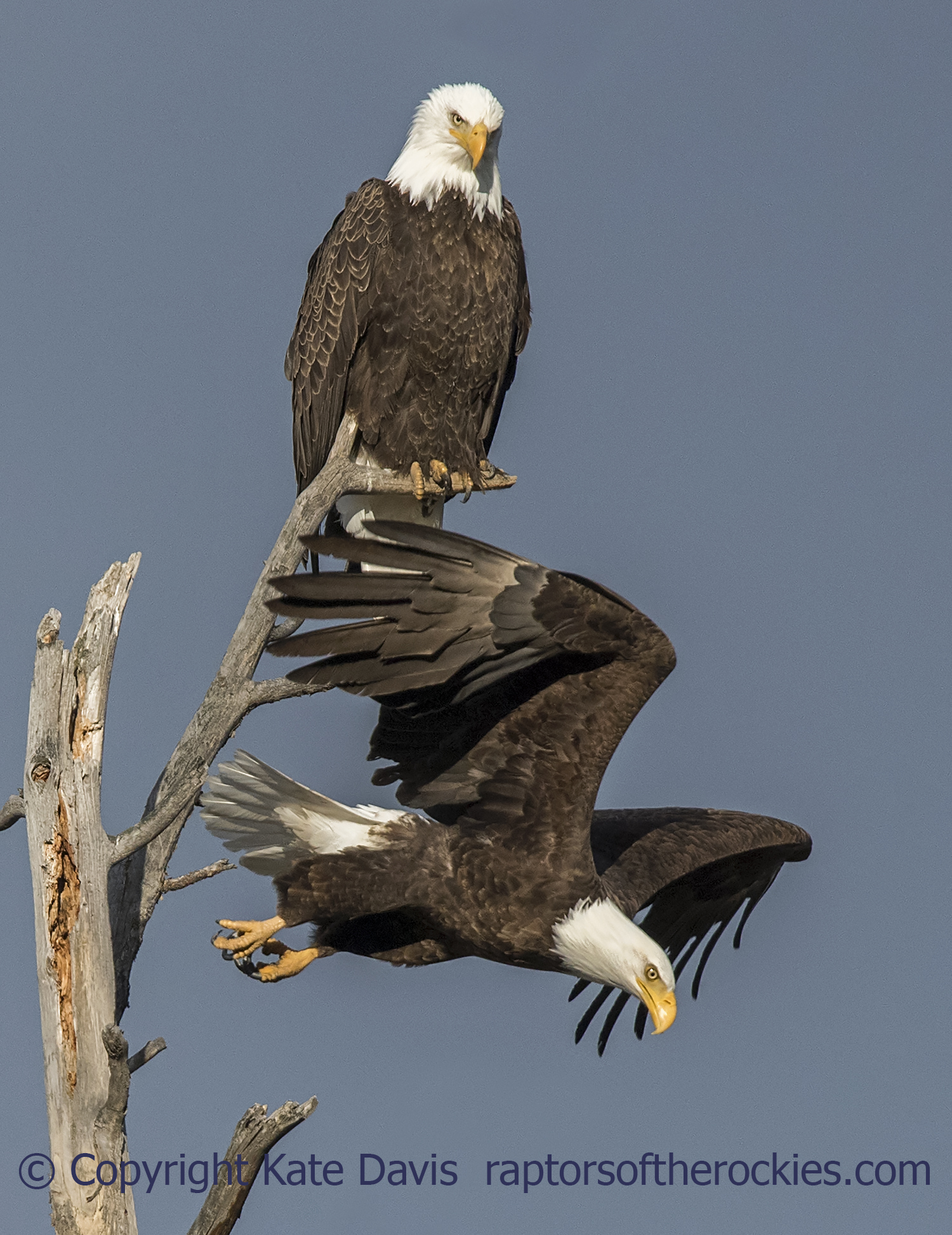 The two Bald Eagles at the nest tree, April 2018. They didn't breed this year but were often perched in that tree.
