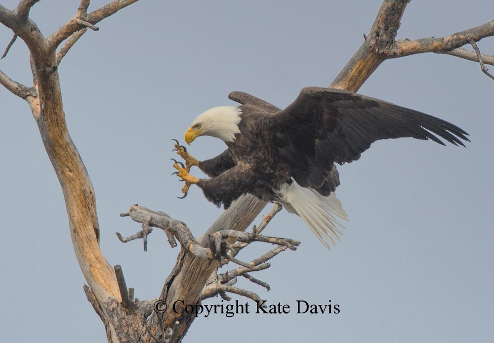 American Bald Eagle - Another Landing - Golden Eagle - Another Landing in what I call the Scenic Snag
