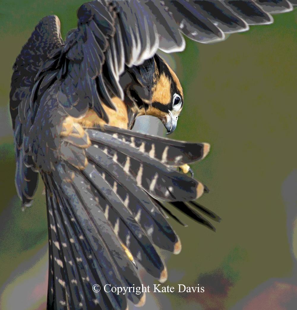 Peregrine Falcon - Aplomado Falcon Image - American Kestrel - Artsy Sonora our Aplomado Falcon image, with posterize in Photoshop