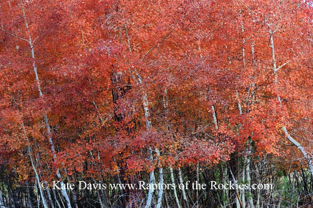 Golden Retriever Photos - Aspens - Elk Photos - Aspens across the road at peak colors