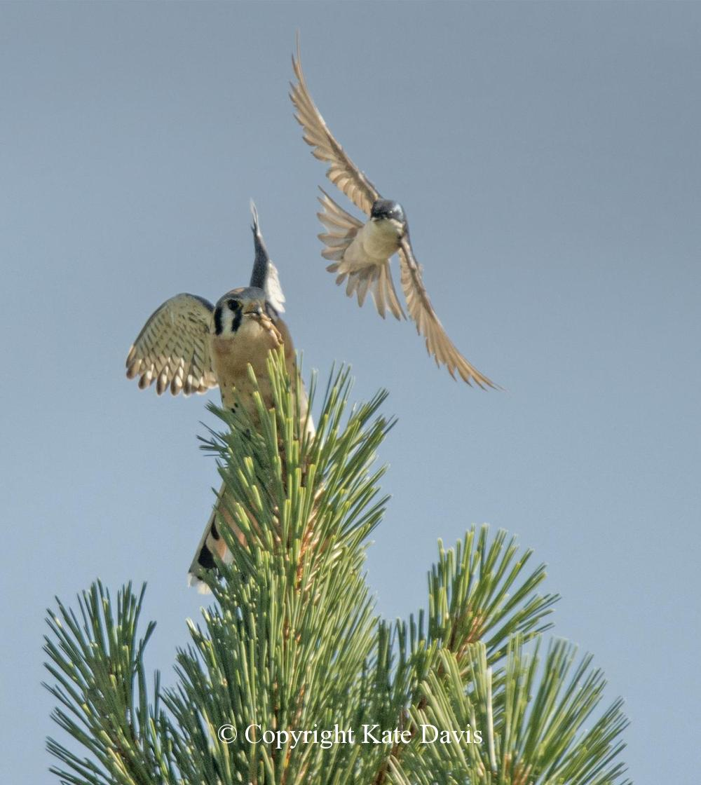 Peregrine Falcon - Attack of the Swallow - American Kestrel - Aggression to a kestrel that had been raiding swallow nest boxes