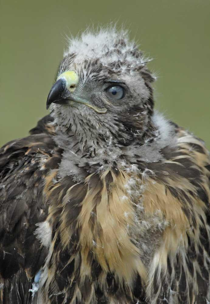photographs of birds of prey - Baby Red-tailed Hawk - Rough-legged Hawk - I released this hawk here at the Raptor Ranch and she came back two years later, popped in the screen over the eagle building where she was raised