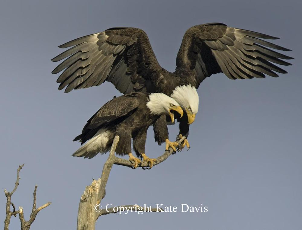 American Bald Eagle - Bald Eagle Chat - Golden Eagle - Bald Eagle pair, perched over the nest