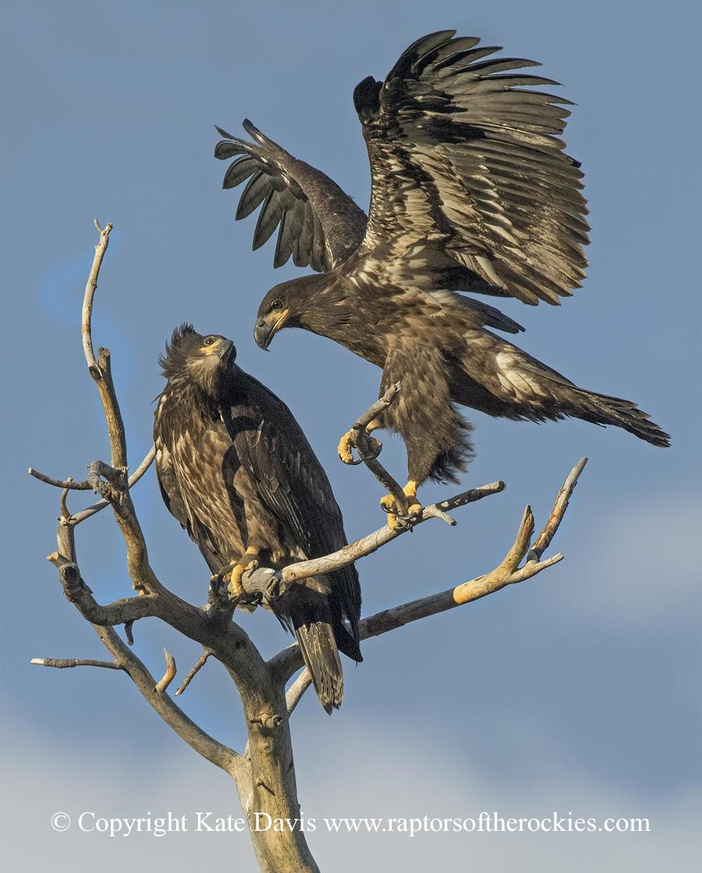 American Bald Eagle - Bald Eagle Fledglings - Golden Eagle - Two of the three Bald Eagle fledglings 2017
