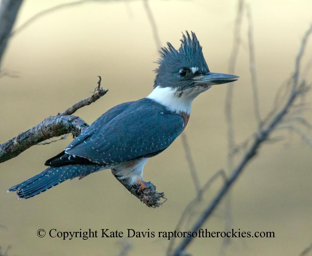 Song Bird Photos - Belted Kingfisher - Shore Bird Photos - Belted Kingfisher in August, smoke from a forest fire creating the strange light