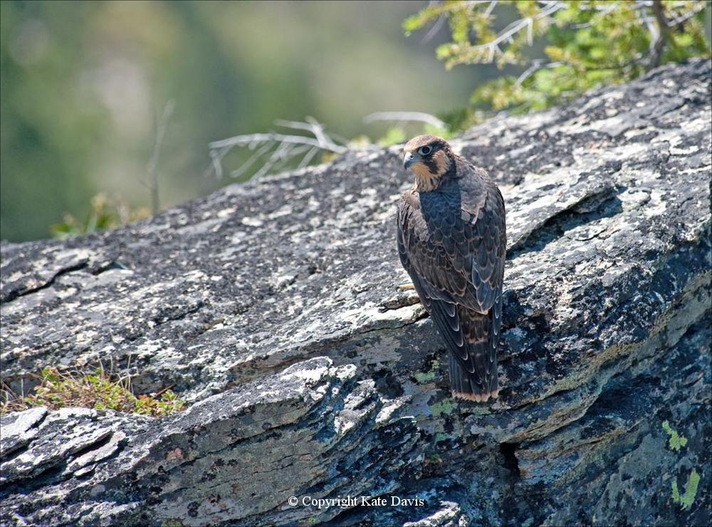 Peregrine Falcon - Bitterroot Peregrine Fledgling  - American Kestrel - This male Peregrine fledgling landed right in front of us while doing nesting surveys in the Bitterroots