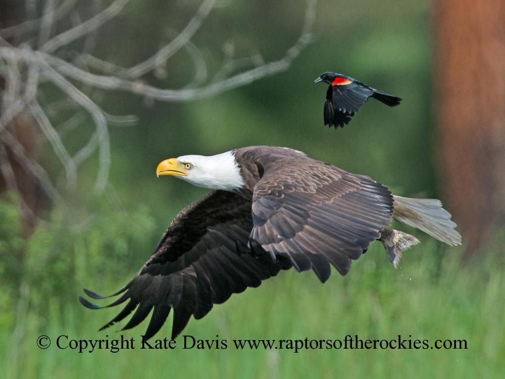 American Bald Eagle - Blackbird Mobbing - Golden Eagle - Red-winged Blackbird mobbing a Bald Eagle