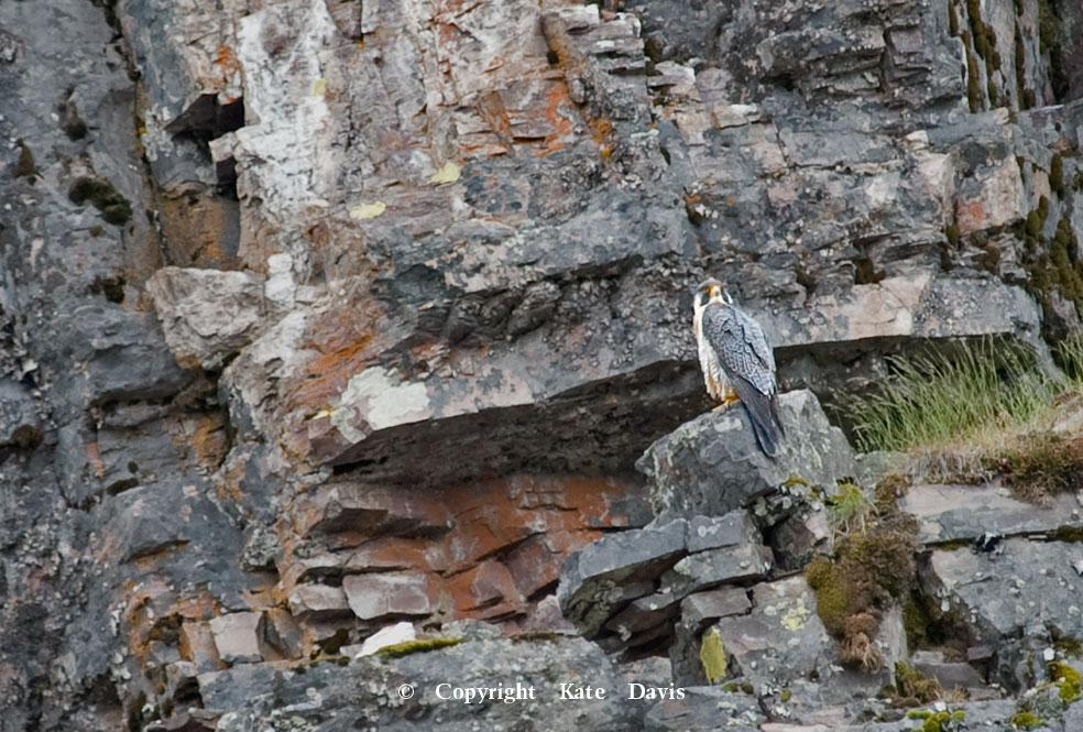 Peregrine Falcon - Blackfoot Peregrine Eyrie - American Kestrel - Blackfoot Peregrine Cliff nesting site