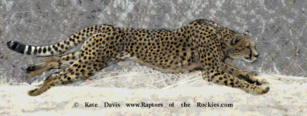 Golden Retriever Photos - Cheetah Run - Elk Photos - Cheetah Run at the Cincinnati Zoo