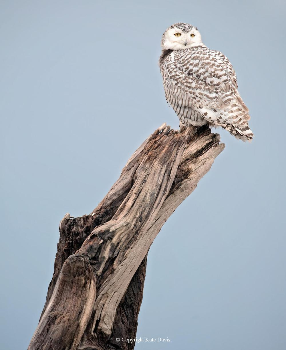 Kate Davis Owl Photographs  - Coastal Snowy - Owl Photography - Washington Coast Snowy Owl female