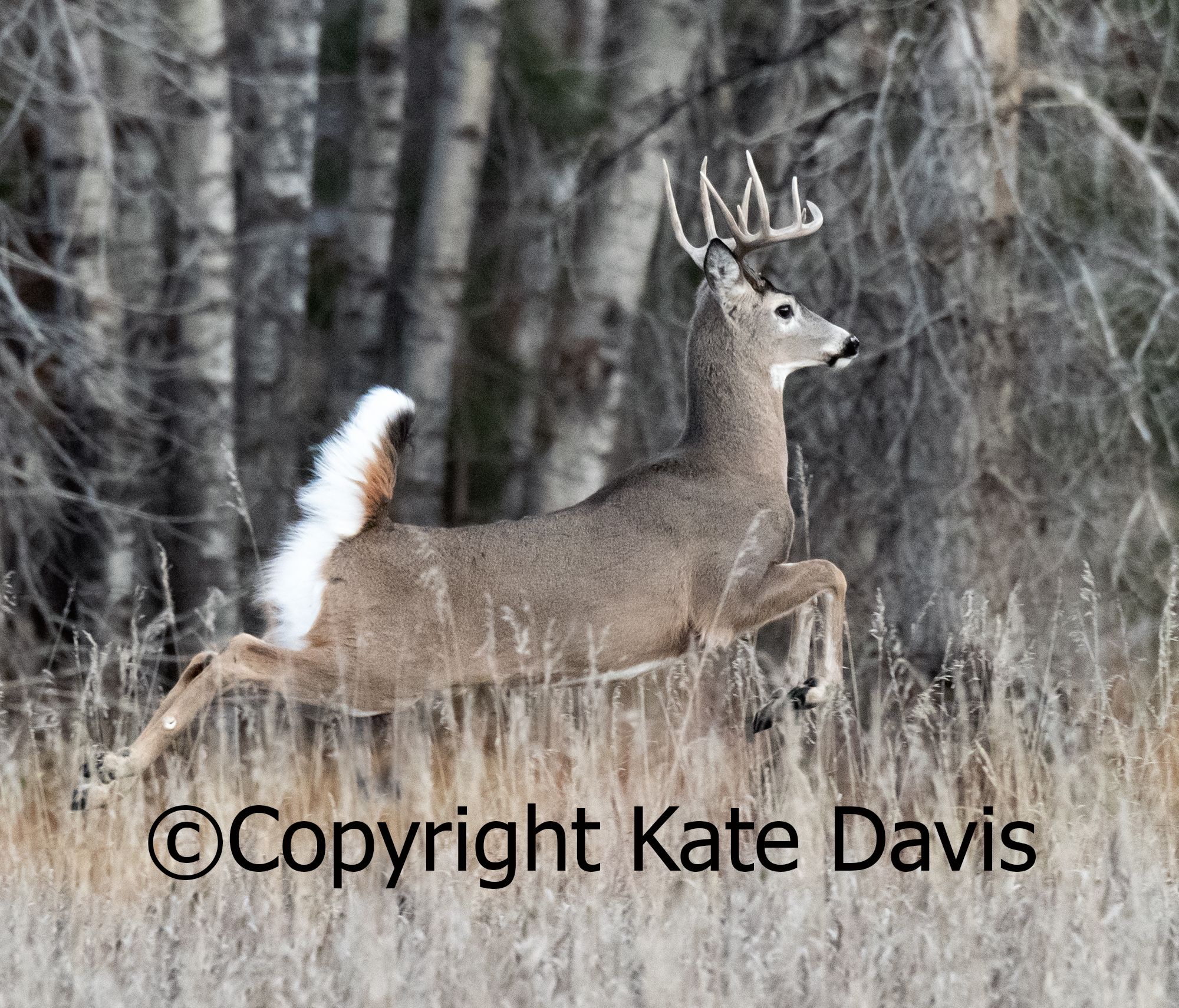 A big buck making his way south by the slough in the back yard, a snapshot!