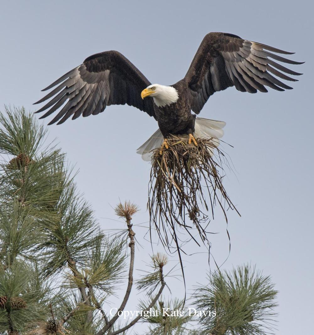 American Bald Eagle - Eagle Adds Nesting Material in April - Golden Eagle - Bald Eagle Adds Nesting Material in April, in National Wildlife Magazine