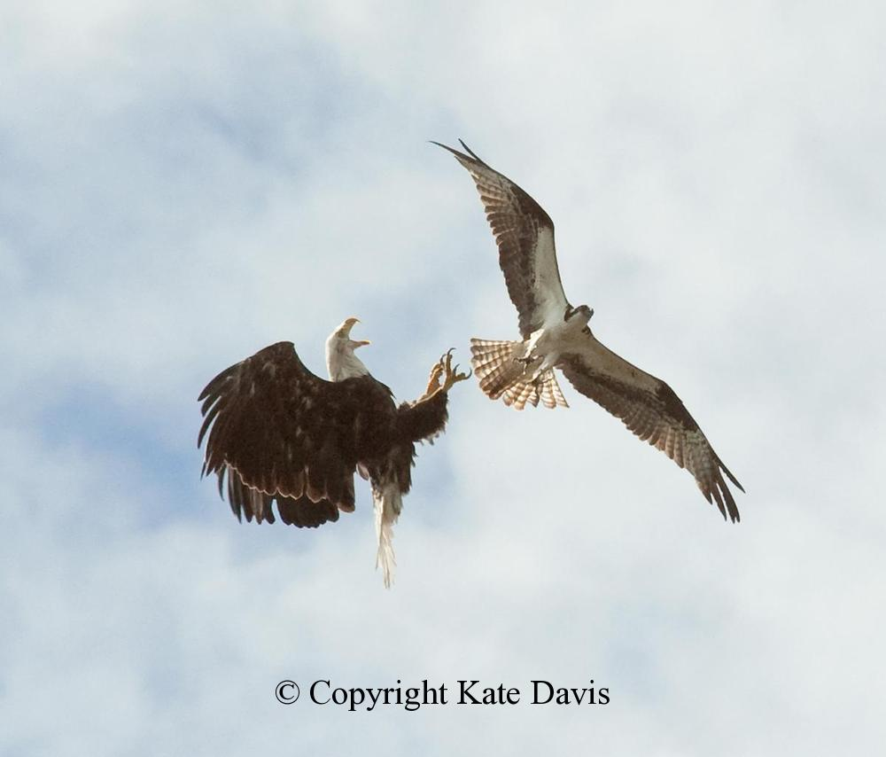 American Bald Eagle - Fight Over the Bitterroot River - Golden Eagle - Bald Eagles and Ospreys are mortal enemies