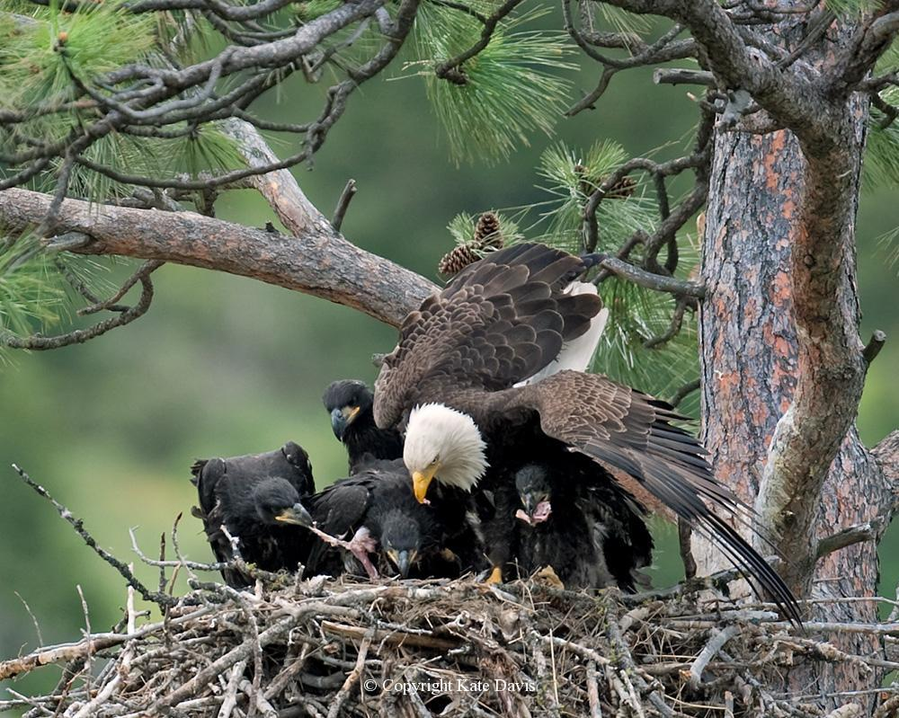 American Bald Eagle - Four Bald Eagle Nestlings - Golden Eagle - Four Bald Eagle nestlings eat a half deer delivered by their father