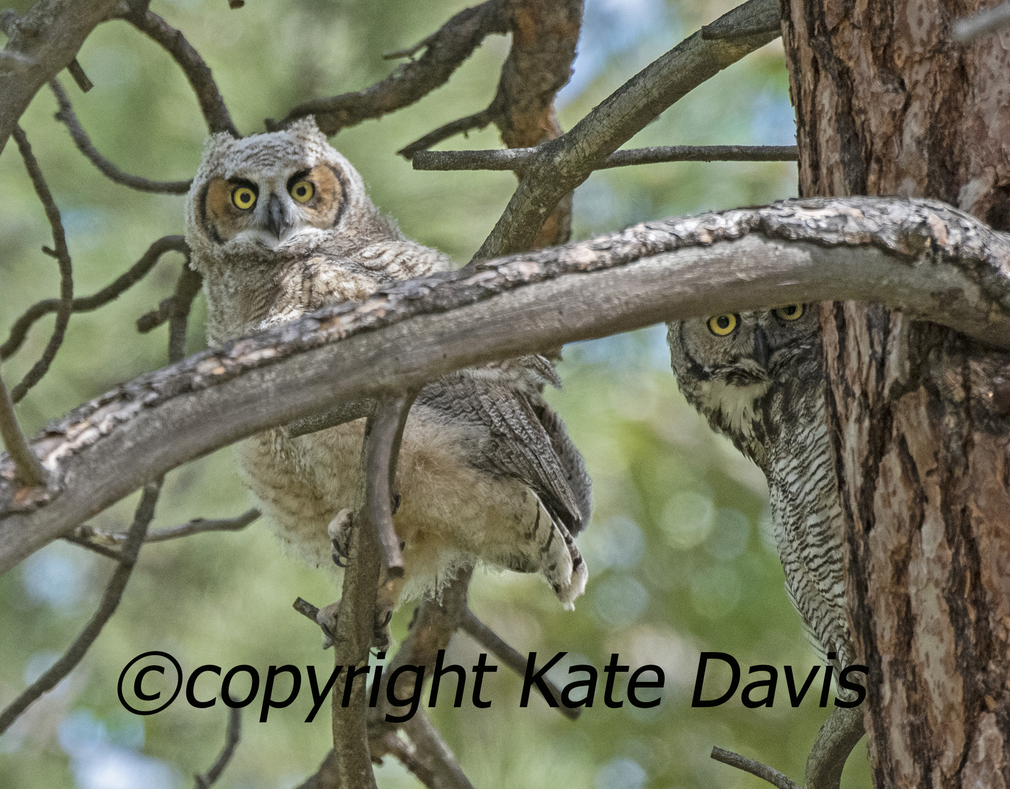 Great Horned Owls, Young and Peeking Adult