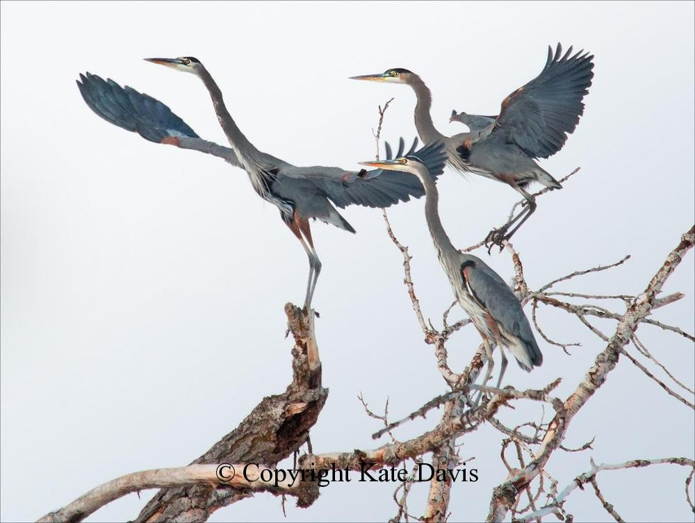 Song Bird Photos - Great Blue Herons - Shore Bird Photos - Great Blue Herons being displaced by a landing Bald Eagle in November