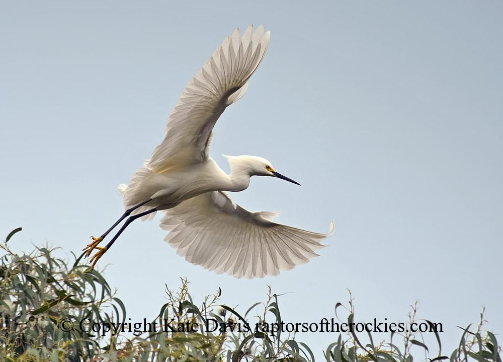 Song Bird Photos - Great Egret - Shore Bird Photos - Yes, what a Great Egret