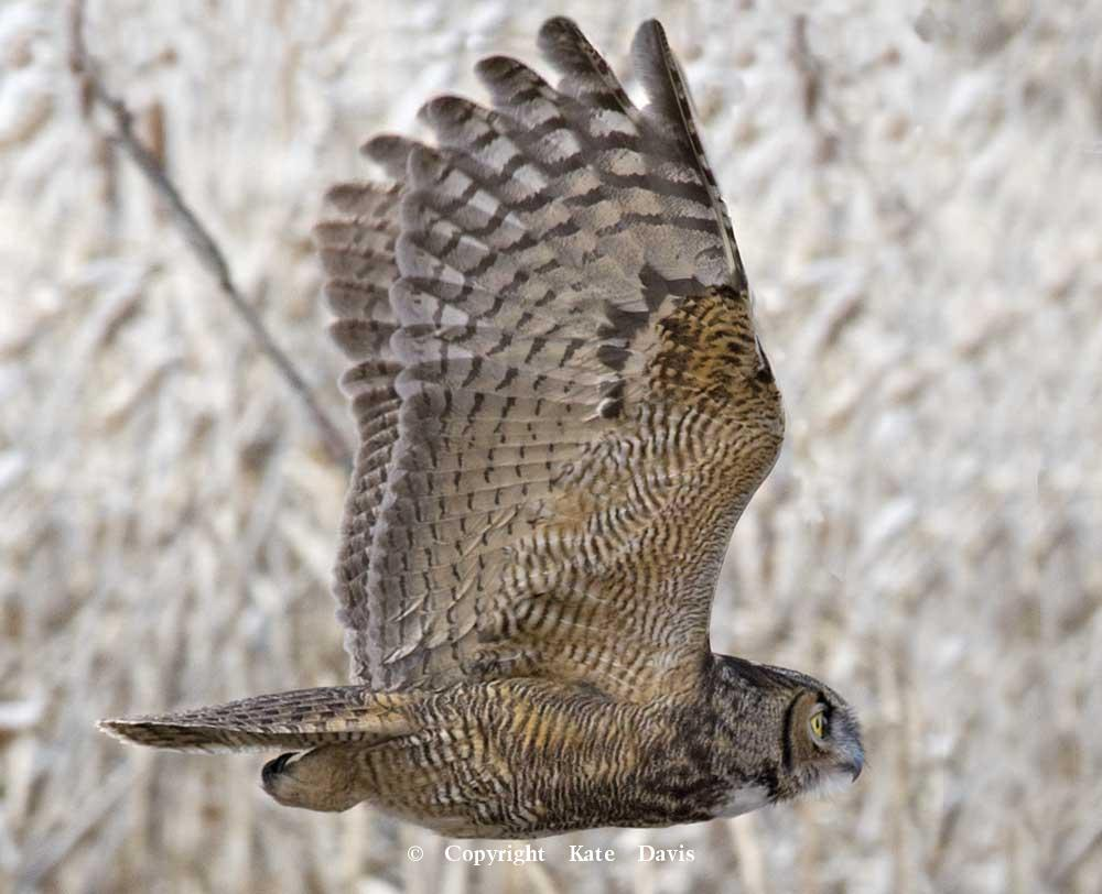 Kate Davis Owl Photographs  - Great Horned Owl  - Owl Photography - This Great Horned Owl flew from his roost while I was flying the Peregrine, arch enemies