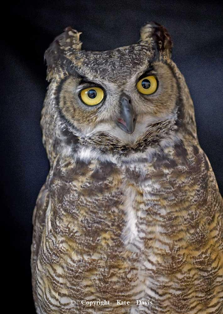 Kate Davis Owl Photographs  - Great Horned Portrait 1 - Owl Photography - Our Great Horned Owl, Jillian 0- TEDX Talk star