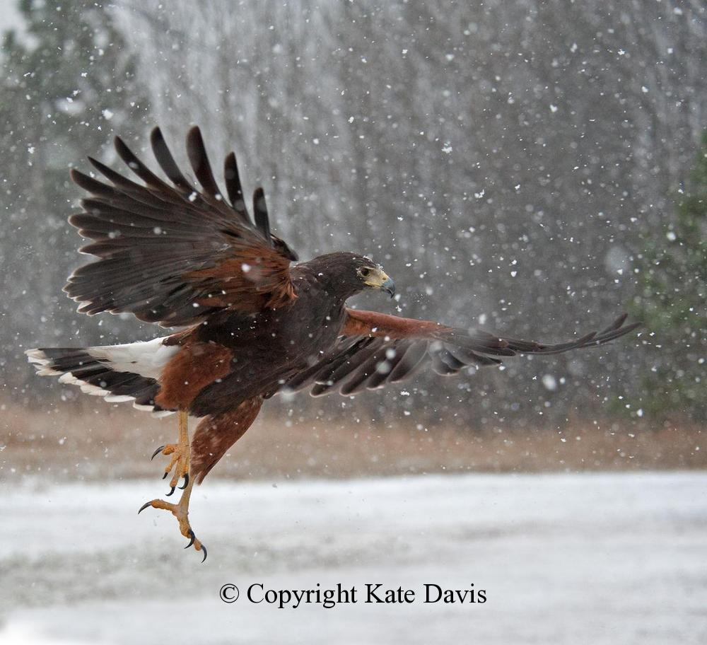 photographs of birds of prey - Harris's Hawk Snow 2 - Rough-legged Hawk - Chesty our Harris's Hawk flew every day, sun or rain, or snow, here at 23 years of age