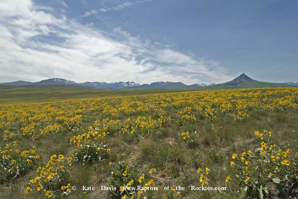 Golden Retriever Photos - Haystack Butte - Elk Photos - Arrowleaf Balsamroot, Haystack Butte, Rocky Mountain Front, Montana