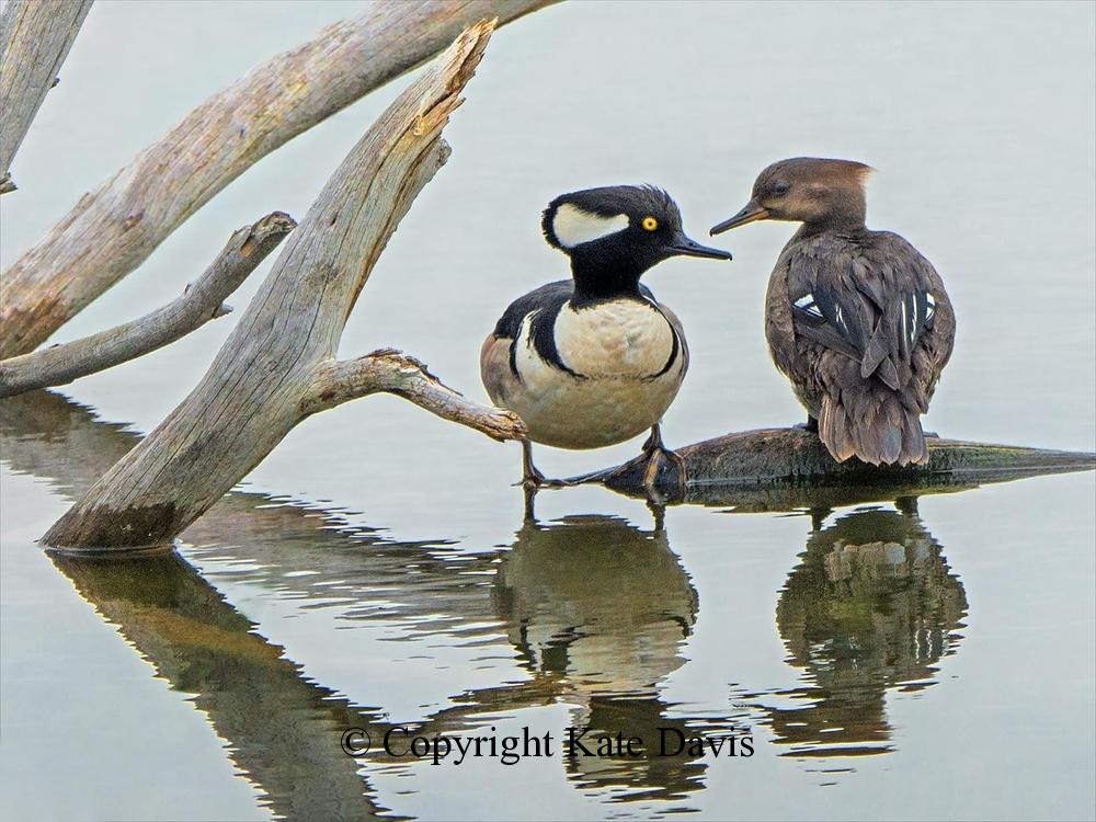 Song Bird Photos - Hooded Mergansers - Shore Bird Photos - Hooded Merganser pair exchanging wise looks