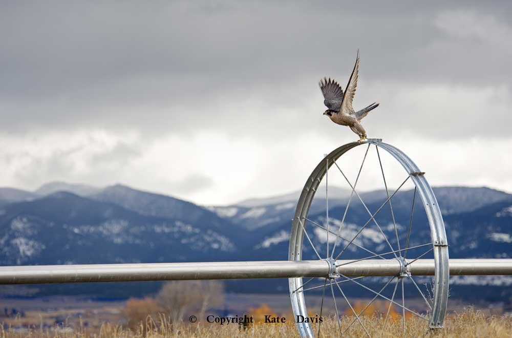 Peregrine Falcon - Irrigation Wheel - American Kestrel - Peregrine Falcon featured in our new calendar, month of February