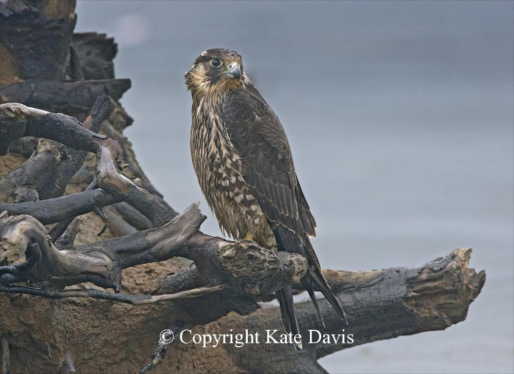 Peregrine Falcon - Juvenile Peregrine on the Coast - American Kestrel - Juvenile Peregrine on the Washington Coast, between rainstorms