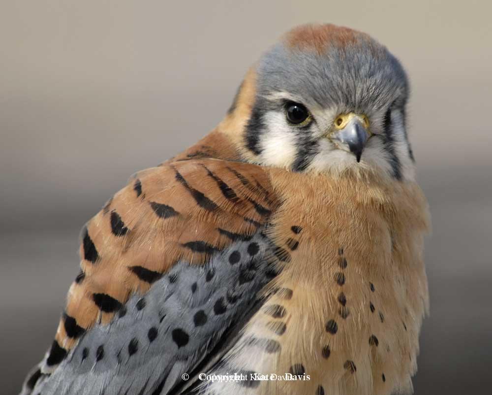 Peregrine Falcon - Kestrel  - American Kestrel - Male American Kestrel photo that has appeared on everything from nest box brochures to coffee mugs and Christmas ornamentss
