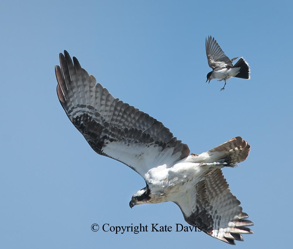 photographs of birds of prey - Kingbird Attack - Rough-legged Hawk - Eastern Kingbirds attack everything, here an Osprey heading home