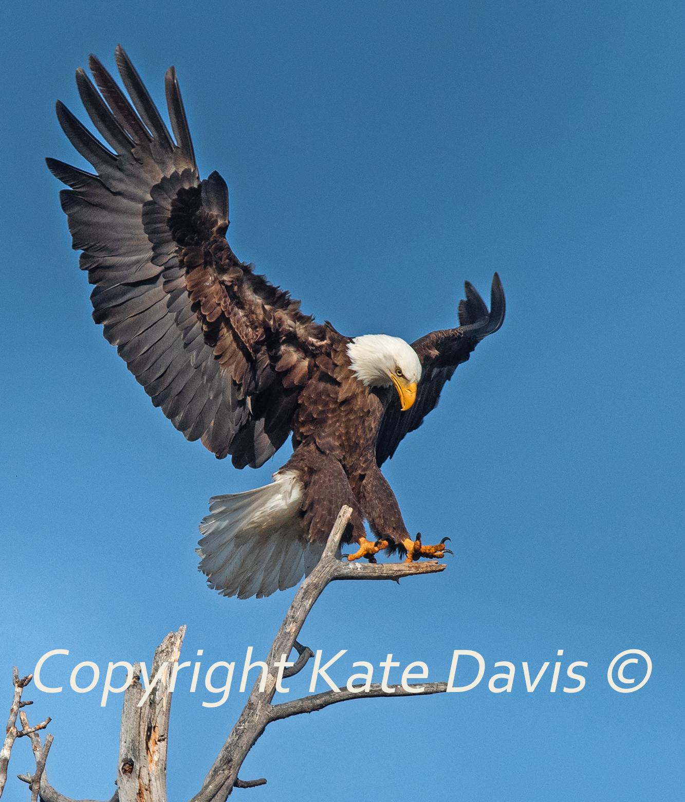 Bald Eagle May Landing