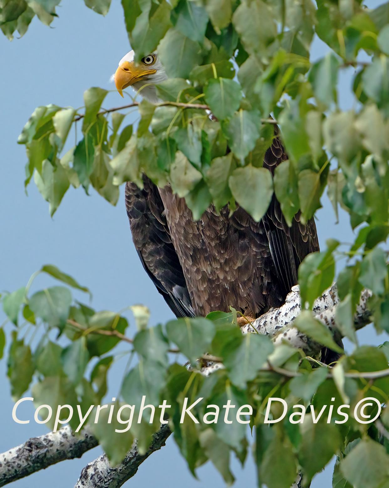 Bald Eagle Peek