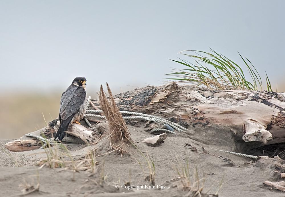 Peregrine Falcon - Long Beach Peregrine - American Kestrel - Long Beach, Washington Peregrine gets out of the high winds back off the beach