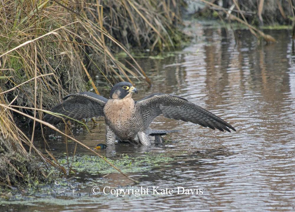 Peregrine Falcon - Mallard and Peregrine - American Kestrel - November Mallard and Peregrine in a slough