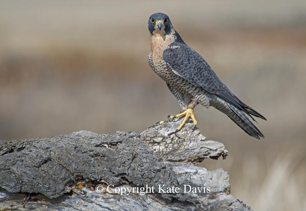 Peregrine Falcon - March Peregrine - American Kestrel - Sibleys last flight in 2014