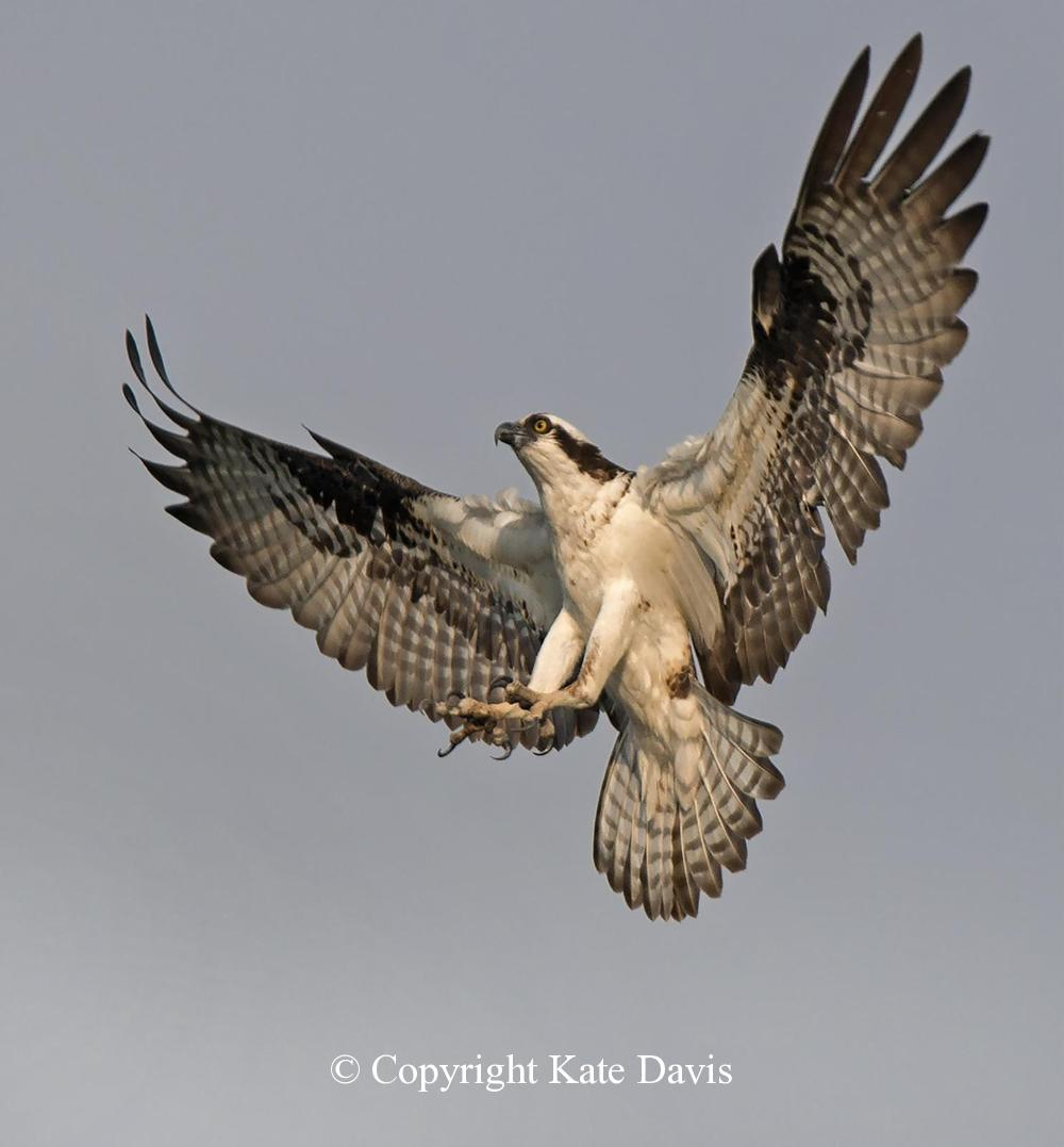 photographs of birds of prey - Not Another Osprey... - Rough-legged Hawk - Not another Osprey...this time landing in the snag