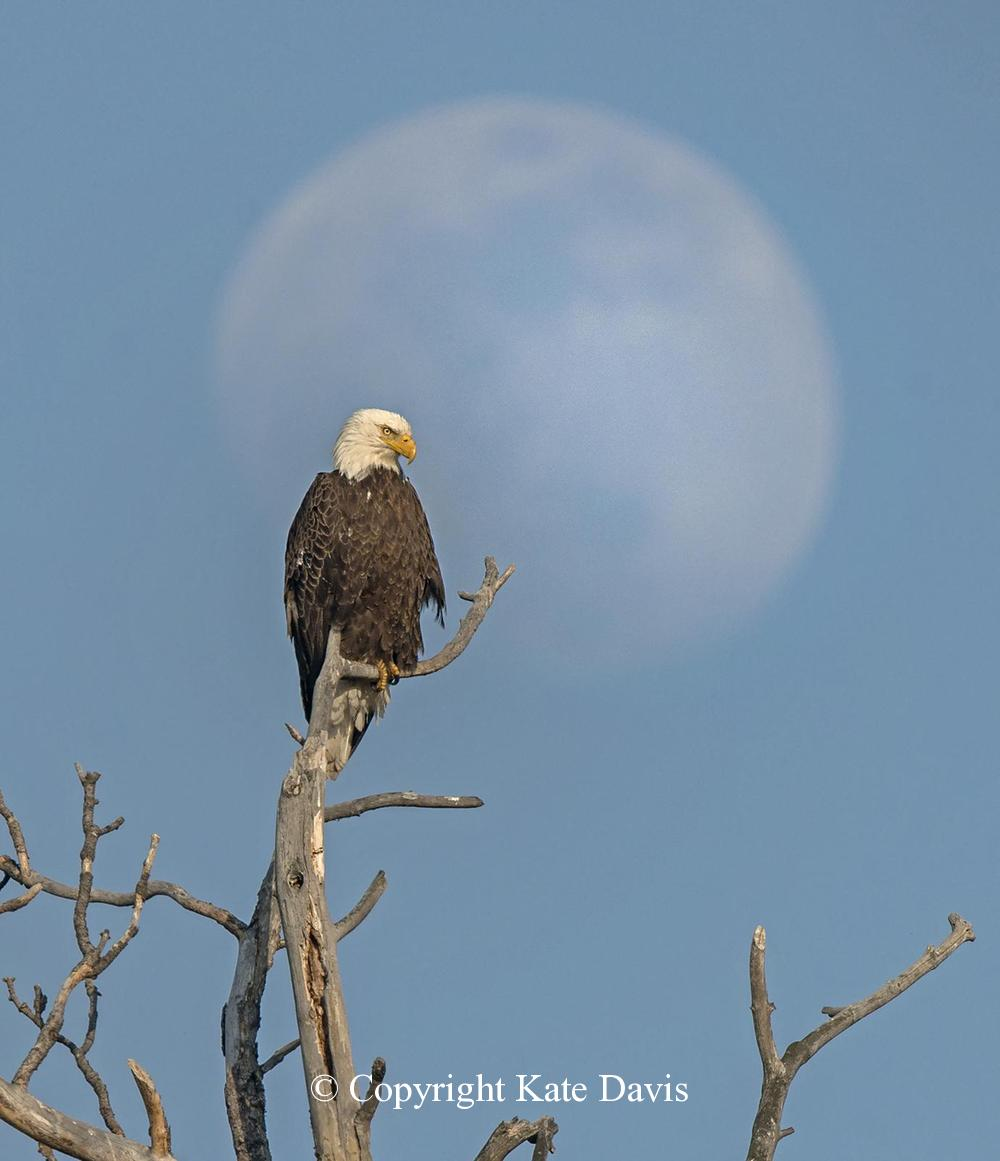 American Bald Eagle - One More... - Golden Eagle - Bald Eagle perched over her nest - one more moon shot