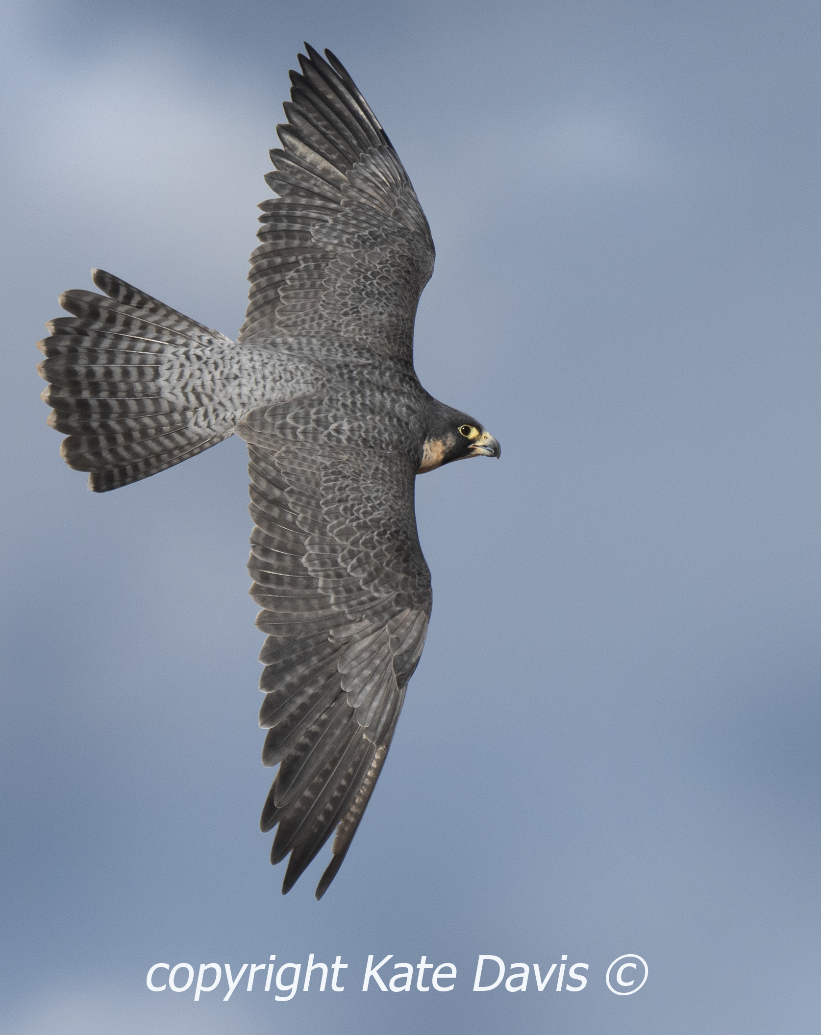 December Sibley the Peregrine