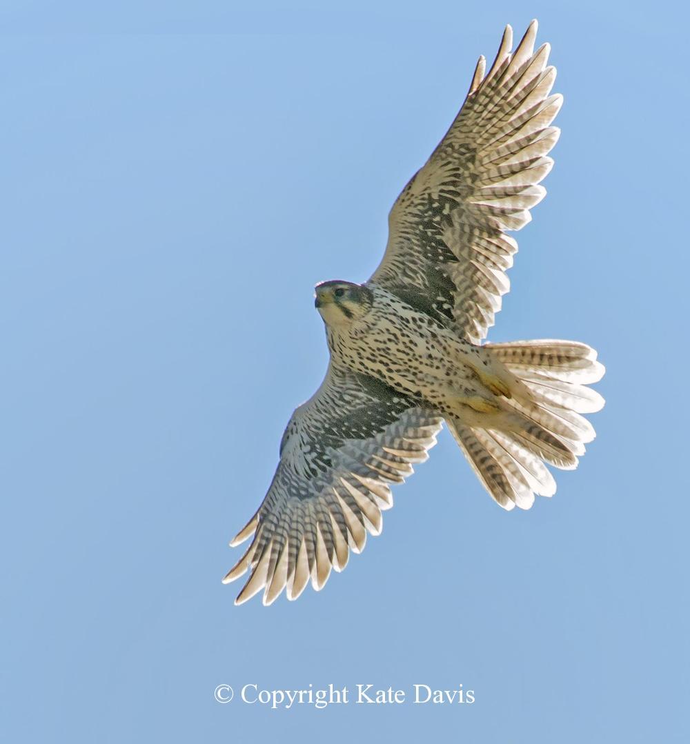 Peregrine Falcon - Prairie Falcon in the Sun - American Kestrel - Prairie Falcon exploring nest sites on the Clark Fork River, Montana