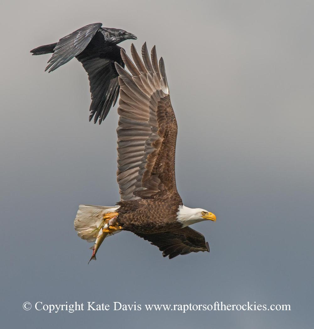 American Bald Eagle - Raven Chase - Golden Eagle - A Raven harasses a Bald Eagle carrying a fish back to the nest